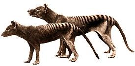 В Тасманийском зоопарке умер...